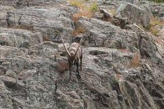 Уединённый Ibex на скале в падении Стоковые Изображения