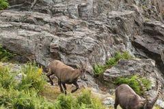 Уединённый Ibex на скале в падении Стоковое фото RF
