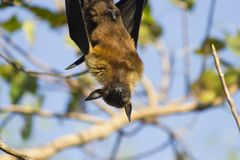 Ужасная лиса летания Стоковое Изображение RF