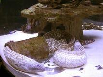 Ужасная мурена пряча в трубе стоковое фото rf