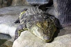 Ужасный гад крокодила отдыхая около реки в природе стоковые фотографии rf