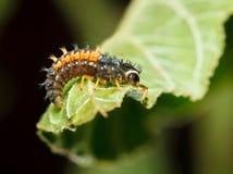 Ужасный охотник - личинка ladybird стоковое изображение