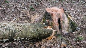 Уже спиленное дерево в лесе сток-видео