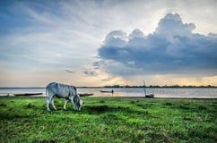 лужок коров зеленый Стоковые Фотографии RF