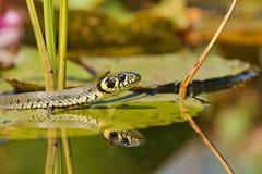 Уж ужа змейки травы на листьях лилий воды и насекомого на голове Стоковые Изображения