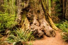 Узелки Redwood Стоковые Фотографии RF