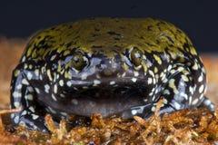 узкая часть рта лягушки Стоковое Фото