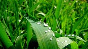 узкая часть травы поля росы глубины Стоковые Фотографии RF