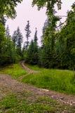 Узкие дороги в лесе при малые камни бежать среди худеньких зеленых елей с растущей сочной травой дальше Стоковые Изображения
