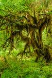 Узловатое дерево покрытое с мхом стоковое фото rf