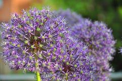 лукабатун цветет пурпур Стоковое Фото