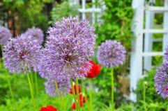 лукабатун цветет пурпур Стоковое Изображение