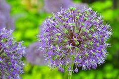 лукабатун цветет пурпур Стоковая Фотография