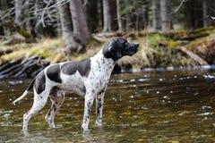 Указатель английского языка собаки стоковое фото rf