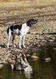 Указатель английского языка собаки стоковые фото