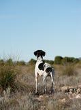 указатель звероловства собаки Стоковые Изображения