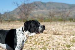 указатель звероловства собаки Стоковое Изображение