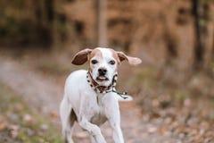 Указатель идущей собаки в лесе стоковое фото rf