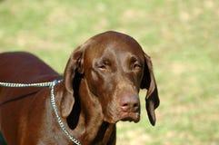 указатель немца собаки Стоковая Фотография RF