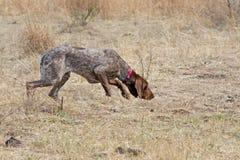 указатель собаки немецкий shorthaired стоковые изображения rf