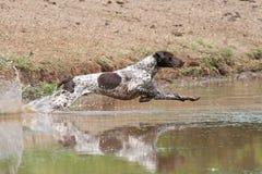 указатель собаки немецкий shorthaired стоковые фото