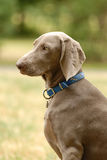 указатель собаки Стоковая Фотография RF