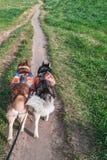 Укомплектуйте личным составом идти 2 осиплых собаки в парке, вид сзади Сибирская лайка при оранжевые рюкзаки бежать на пути грязи стоковая фотография rf