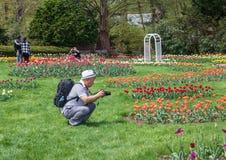 Укомплектуйте личным составом фотографировать тюльпаны в парке Элизабета, западном Hartford, Коннектикуте стоковая фотография