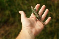 Укомплектуйте личным составом держать в ящерице рук красочной зеленой на предпосылке древесины Стоковые Изображения RF
