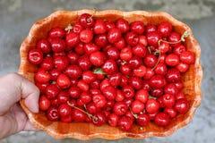 Укомплектуйте личным составом держать шар свежих красных вишен после сбора Стоковая Фотография