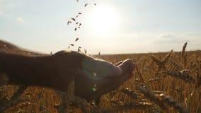 Укомплектуйте личным составом руки лить зерна зрелой пшеницы золотые на заходе солнца Зерно пшеницы в мужской руке над новым сбор акции видеоматериалы