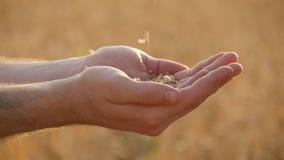 Укомплектуйте личным составом руки лить зерна зрелой пшеницы золотые на заходе солнца Зерно пшеницы в мужской руке над новым сбор видеоматериал