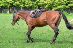 Укомплектуйте личным составом тренировку красивой лошади, скакать на поле стоковое изображение
