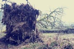 Укорените систему валить дерева в шторме Стоковая Фотография