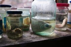 Украина Зона отчуждения Чернобыль - 2016 03 20 подготовки рыб в покинутой лаборатории Стоковое Фото