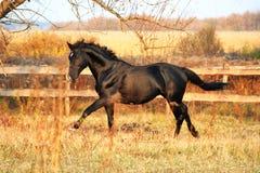 Украинская порода лошади жеребца Стоковое Изображение RF