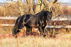 Украинская порода лошади жеребца Стоковые Фотографии RF