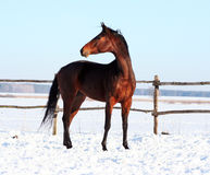 Украинские лошади породы лошади Стоковая Фотография