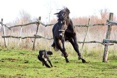 Украинские лошади породы лошади Стоковые Фото