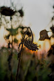 Украинские солнцецветы Стоковое Изображение