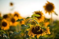Украинские солнцецветы Стоковые Изображения