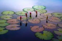 украсьте пруд лотоса взгляда отдыха сада стоковая фотография rf