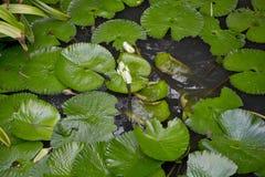 украсьте пруд лотоса взгляда отдыха сада Стоковое Изображение RF
