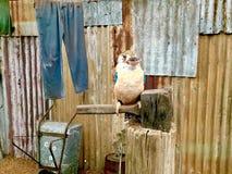 Украшанное блестками Kookaburra australites Стоковые Фото