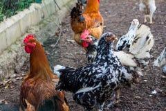 Украшанные блестками черно-белые цыплята стоковые фото