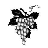 Украшение вектора - виноградины иллюстрация штока