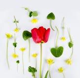 Украшение дня или Дня матери женщин Рамка красных тюльпанов, narcissus, гиацинтов и muscari цветков на белизне стоковая фотография
