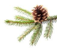 Украшение рождества - ветвь ели с позолоченным конусом стоковое фото