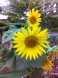 Украшение солнцецвета сада органическое в Таиланде Стоковая Фотография