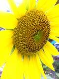 Украшение солнцецвета сада органическое в Таиланде Стоковая Фотография RF